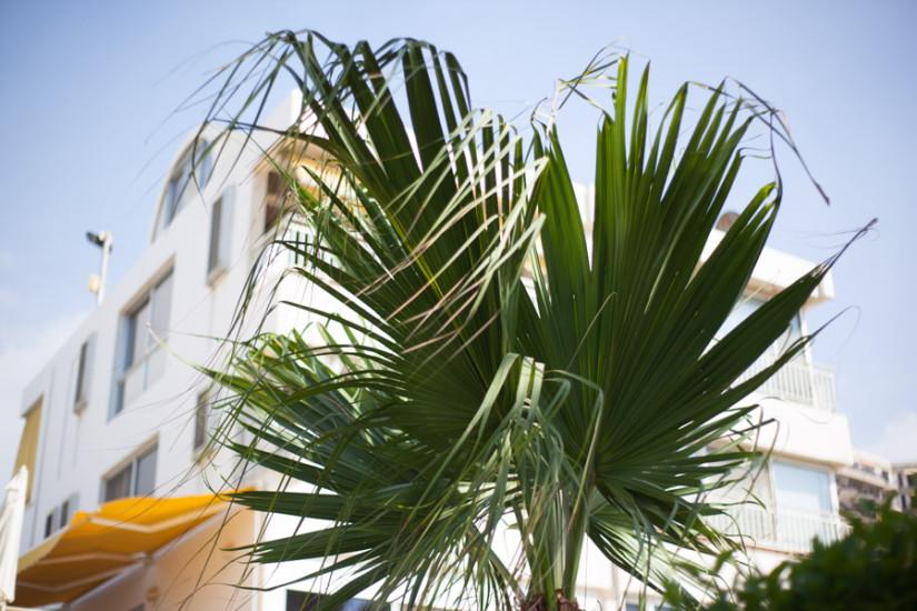 Solemar Palm